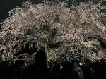 板橋桜2 001.JPG