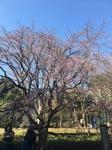 桜 015.JPG