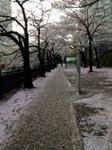 花吹雪__.JPG